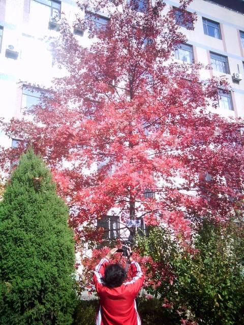 沼生红栎2.png