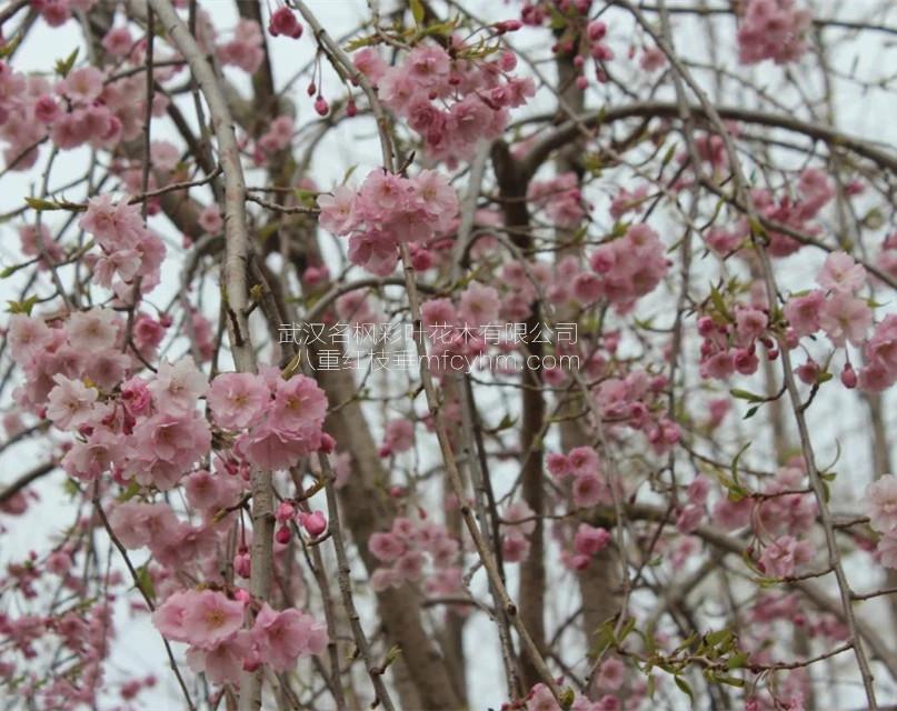 八重红垂枝樱花