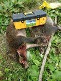 客户成功捕获两头野猪
