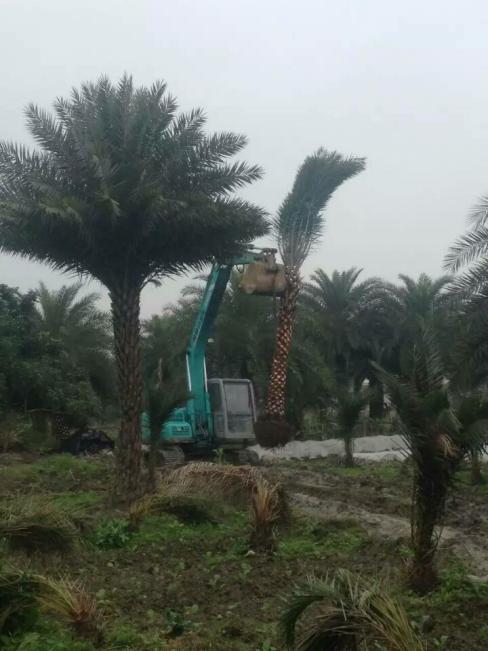 中东海枣6.png