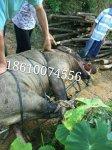 捕获400斤野猪真实案例
