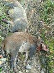 客户捕获300斤野猪案例