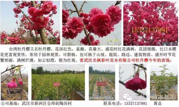 今年可能冷冬,红叶紫薇苗木该如何防冻?