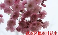 美国垂枝樱花