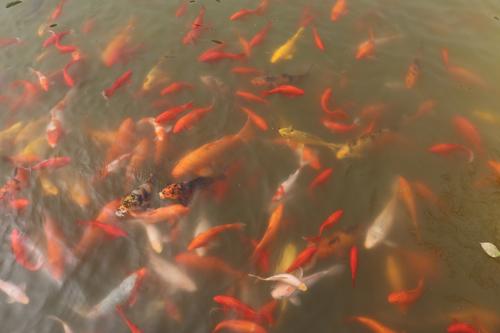 22-生活区畅游的鱼群.JPG