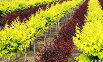壁纸 成片种植 风景 植物 种植基地 桌面 400_244