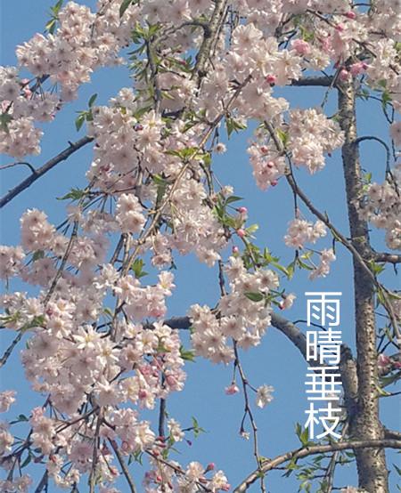 雨晴垂枝樱花