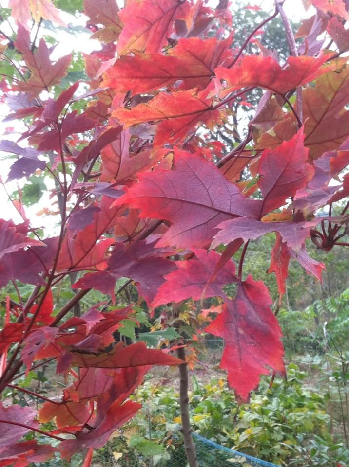 北美红栎2.png