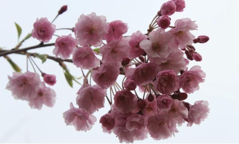 八重红垂枝樱花.jpg