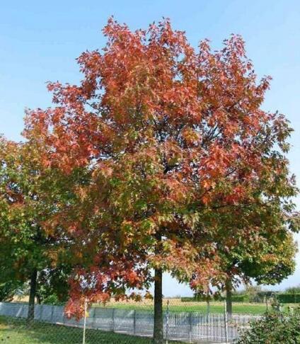 北美红栎的栽种对长成的影响